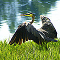 Great Blue Heron by Diana Haronis