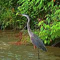 Great Blue Heron by Ericamaxine Price