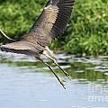 Great Blue Heron Escape by Sharon Talson