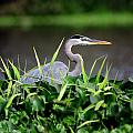 Great Blue Heron Hiding In The Grasses by Bill Dodsworth