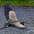 Great Blue Heron In Flight by Barbara Bowen