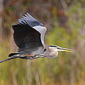 Great Blue Heron In Flight II by Bruce J Robinson