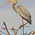 Great Blue Heron In Habitat by Dave Mills
