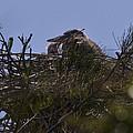 Great Blue Heron In Nest by Roger Wedegis