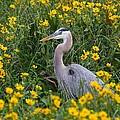 Great Blue Heron In The Flowers by Myrna Bradshaw