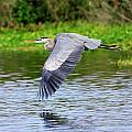 Great Blue Heron Inflight by Bill Dodsworth