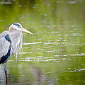 Great Blue Heron by Jim DeLillo