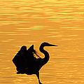 Great Blue Heron Landing In Golden Light by Randall Branham