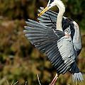 Great Blue Heron Landing by Sabrina L Ryan