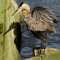 Great Blue Heron On The Block by Paulette Thomas