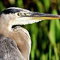 Great Blue Heron Portrait by Bill Dodsworth