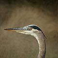 Great Blue Heron Profile by Ernie Echols