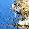 Great Blue Heron Resting by Suzie Banks