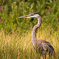 Great Blue Heron by Stephanie McDowell
