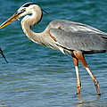 Great Blue Heron With Catch by Larry Allan