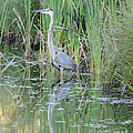 Great Blue Heron With Reflection by Ronald Grogan