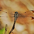 Great Blue Skimmer 8703 3326 by Michael Peychich