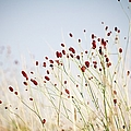 Great Burnet Flowers by Lacaosa