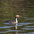 Great Crested Grebe With Breakfast by Steve Purnell