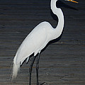Snowy Egret by Aimee L Maher ALM GALLERY