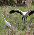 Great Egret And Wood Stork In The Marsh by Carol Groenen