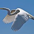 Great Egret by Bill Lindsay