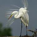 Great Egret by Bob Christopher