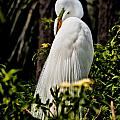 Great Egret by Christopher Holmes
