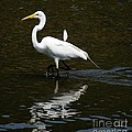 Great Egret  by Elaine Manley