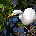 Great Egret Fishing by Christine Stonebridge