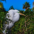 Great Egret In A Tree by Delores Knowles