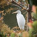 Great Egret  In Cypress by Patrick M Lynch