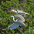 Great Egret In Flight by Louise Heusinkveld