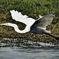 Great Egret In Flight  by Saija  Lehtonen