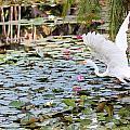 Great Egret In Flight by Suzie Banks