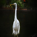 Great Egret by Lisa Redfern
