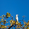 Great Egret On Watch by Michelle Constantine