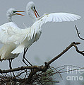 Great Egret Pair by Bob Christopher
