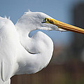 Great Egret Portrait by Roena King