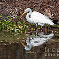 Great Egret Searching For Food In The Marsh by Louise Heusinkveld
