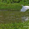 Great Egret Takeoff 2 by Roy Williams