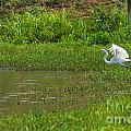 Great Egret Takeoff by Roy Williams
