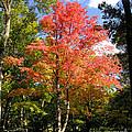Great Fall Tree by Anne Ferguson