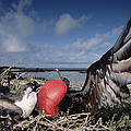 Great Frigatebirds Courting by Tui De Roy