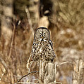 Great Gray Owl by Mark Duffy