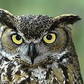 Great Horned Owl Bubo Virginianus by Zssd