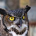 Great Horned Owl by Doug Lloyd