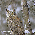 Great Horned Owl In Its Pale Form by Tim Fitzharris