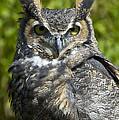 Great Horned Owl by Jacki Pienta