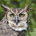Great Horned Owl by Keith Kapple